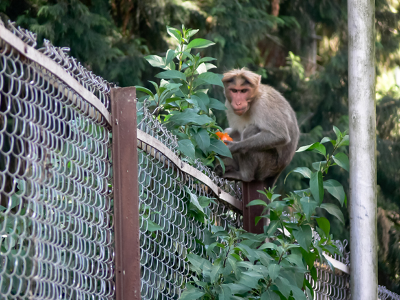 Bonnet Macaque, Ooty