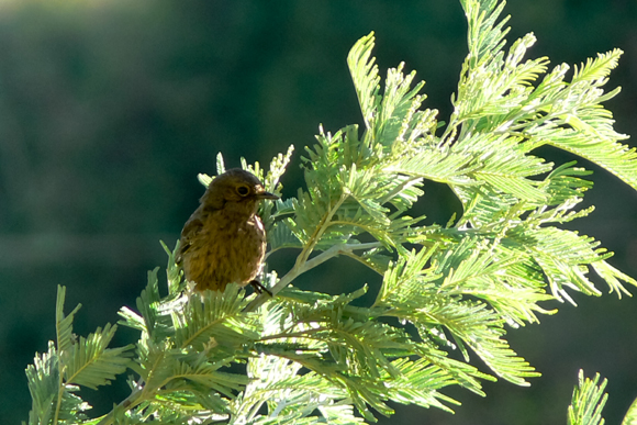 Pied Bushchat , Ooty